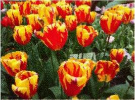 Tulips effect 1