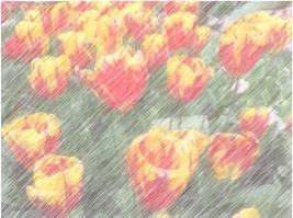 Tulips effect 2