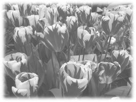 Tulips effect 4